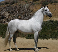 Andalusians/Baroque Horses